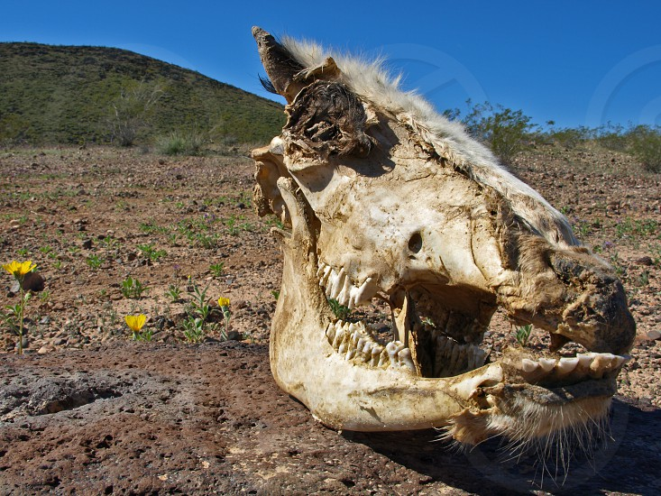 The skull of a dead horse found in the unforgiving Arizona desert. photo