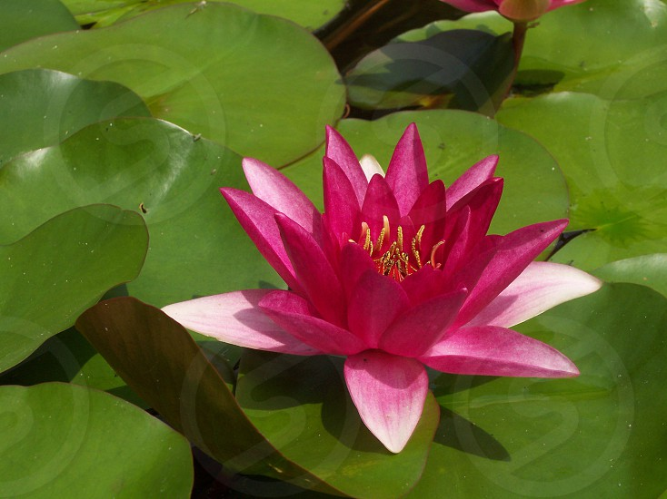 Lilly Flower Pink Green Fresh New Beauty Pond  photo