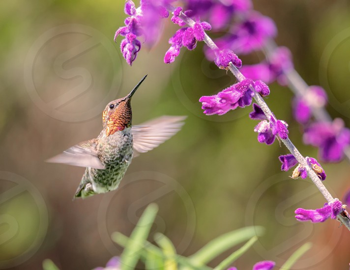 Anna's Hummingbird in Flight Purple Flowers Color Image Day photo