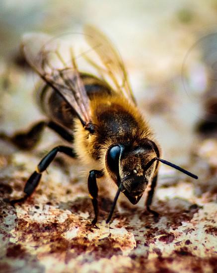 Mining bee macro. photo