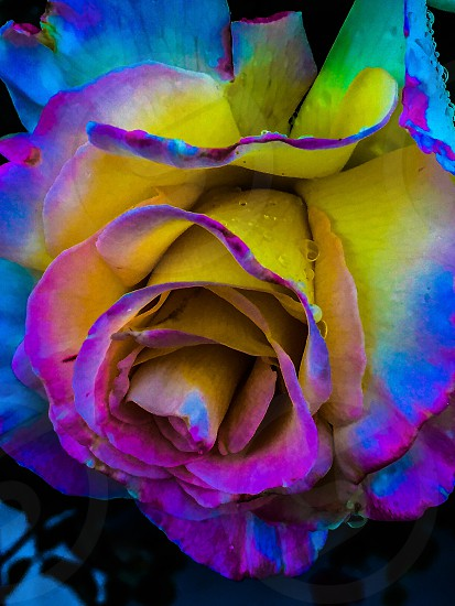 close up photography of purple yellow and blue petaled rose with water droplets photo