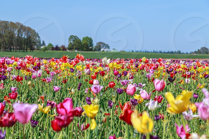 Tulips spring Woodburn Oregon photo