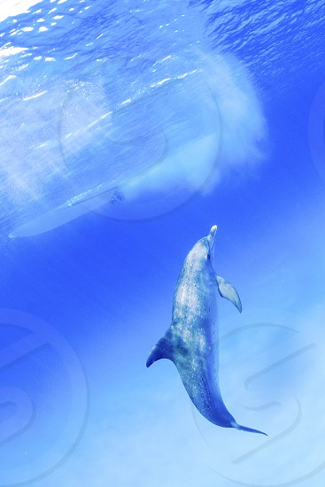 A baby atlantic spotted dolphin. photo