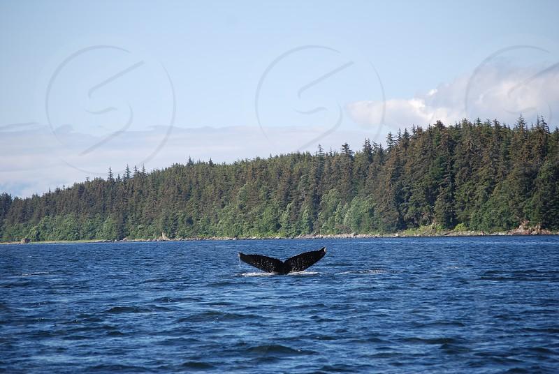 Humpback Juneau July 2014 photo