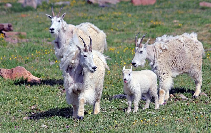 Family of mountain goats on Colorado's Mt. Evans. photo
