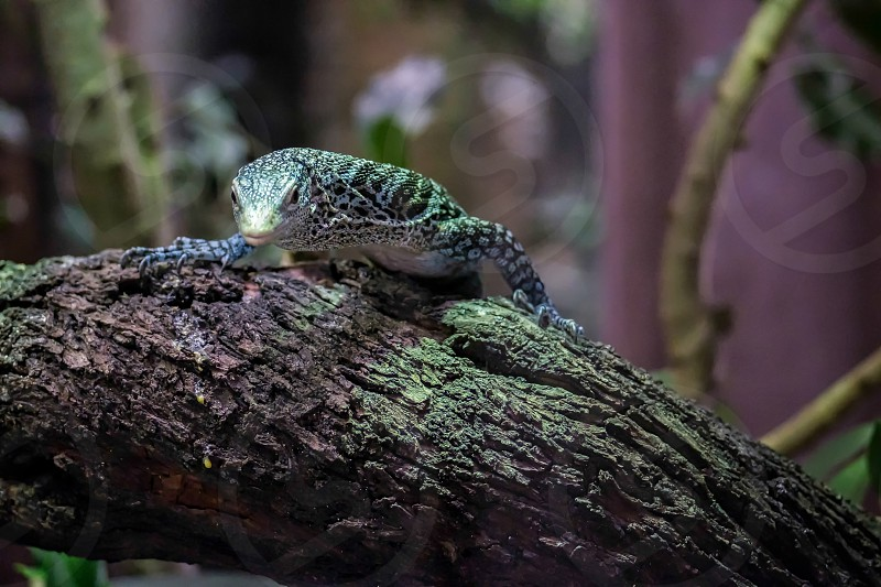 Emerald Tree Monitor (Varanus prasinus) at the Bioparc Fuengirola photo