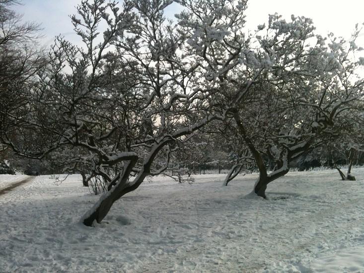 Snowy Trees photo