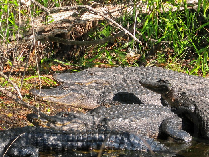 Group of American Alligaters Alligator mississippiensis resting in sun Everglades National Park USA. photo
