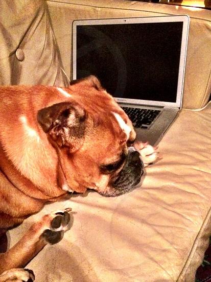 Bulldog sleeping on MacBook Pro. photo