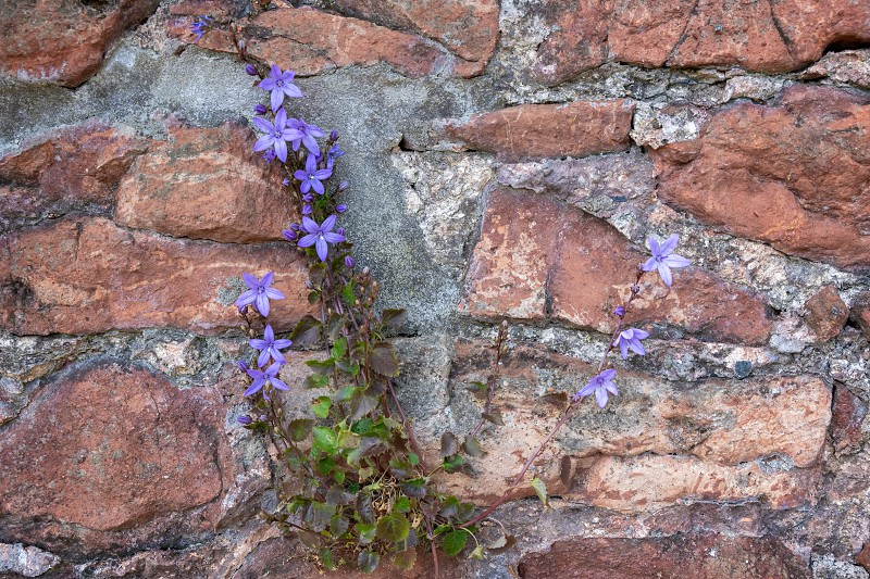 Vine growing on a wall in Bristol producing small blue flowers photo
