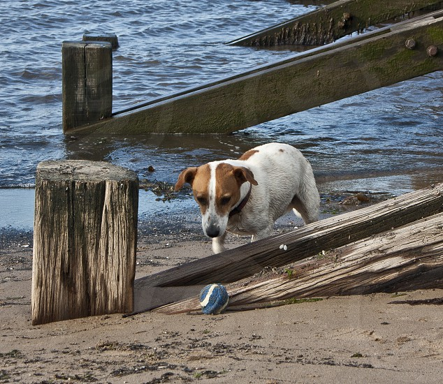 Jack Russell Terrier staring intently at ball on the beach through wooden groin (sea wall) supports photo