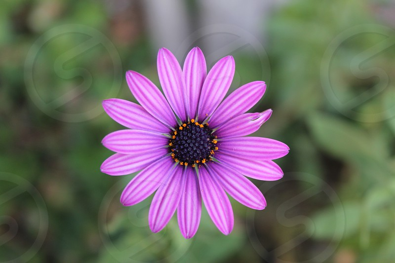 African Daisy. Sooo close to being perfect....that petal on the right though. photo