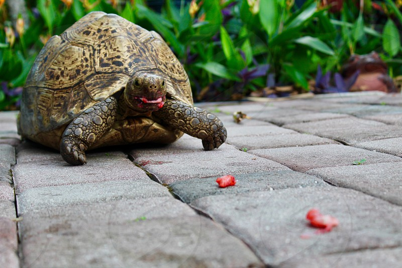 Animal Pet Reptile Tortoise Shell Happy Eating Strawberry Summer Tropical Friendly Fun photo