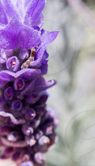 A little grub nestled in a lavender flower. photo
