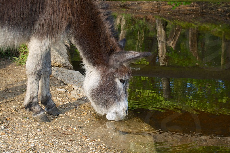 Donkey drinking at a river photo