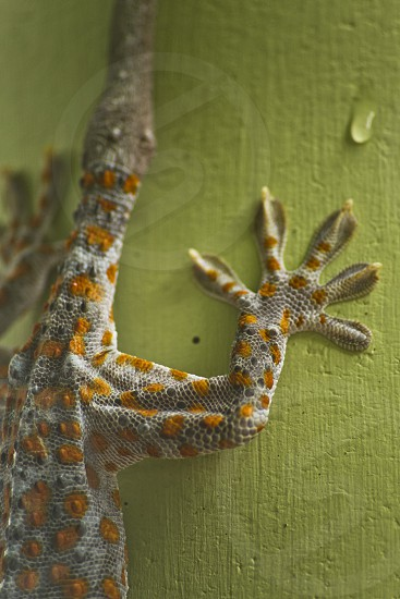 Close up of the foot of a Gecko found in Thailand photo