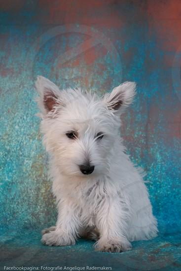 puppy dog white photo