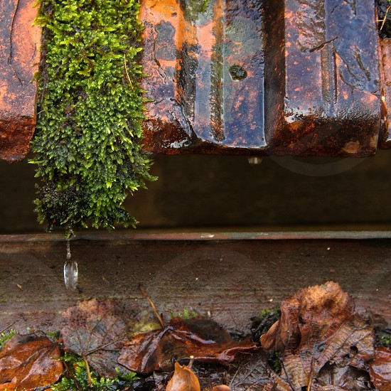 Square image of a water drop falling from a piece of moss on a rusty rooftop into a gutter full of leaves. photo