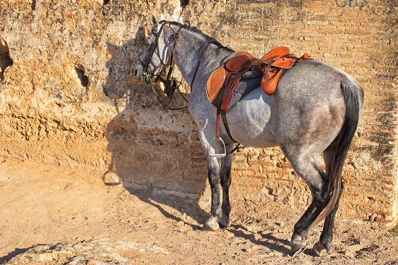 Portrait of Arabic stallion in the desert ready for riding photo