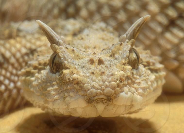 Sahara horned viper (Cerastes cerastes) - close-up view. photo