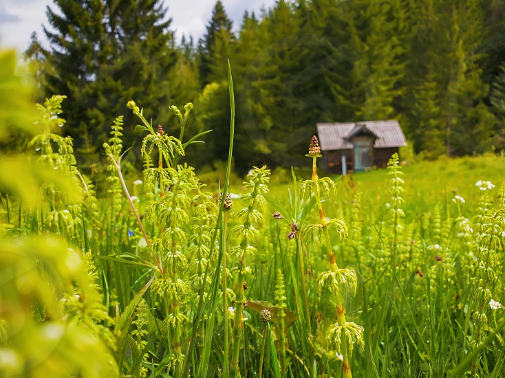 Closeup of wild Carpathians vegetation on the field in front of an old wooden cottage near the fir forest. Marvelous rural spring scene with green meadow.  photo