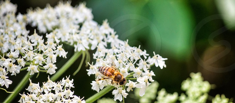 Pollinate bee flowers white stem  photo