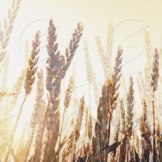 Wheat blend in backlight photo