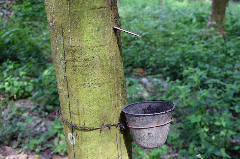 rubber trees .  photo