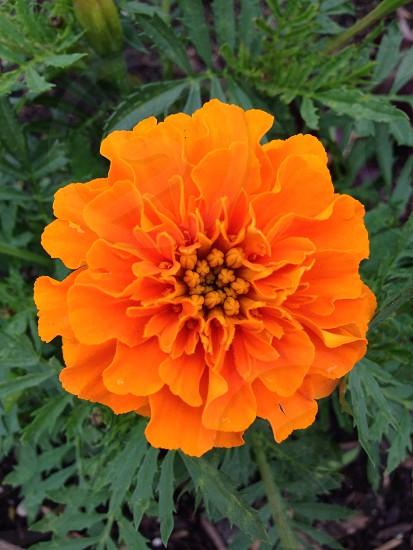 Orange tangerine flower photo