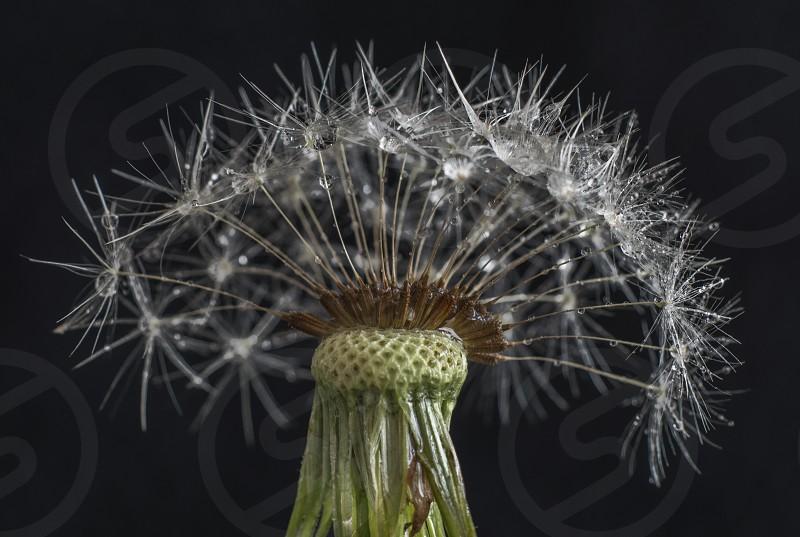 dandelionseedswetweedflower photo
