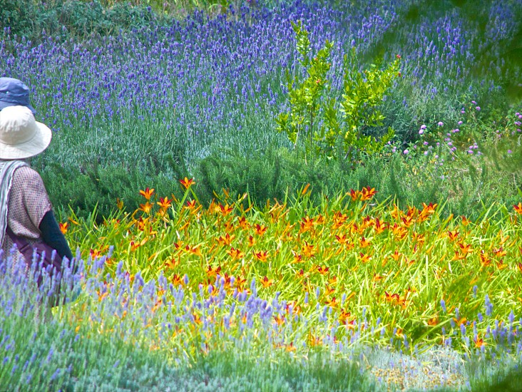 person in white bucket hat in between orange and violet flowers during day time photo