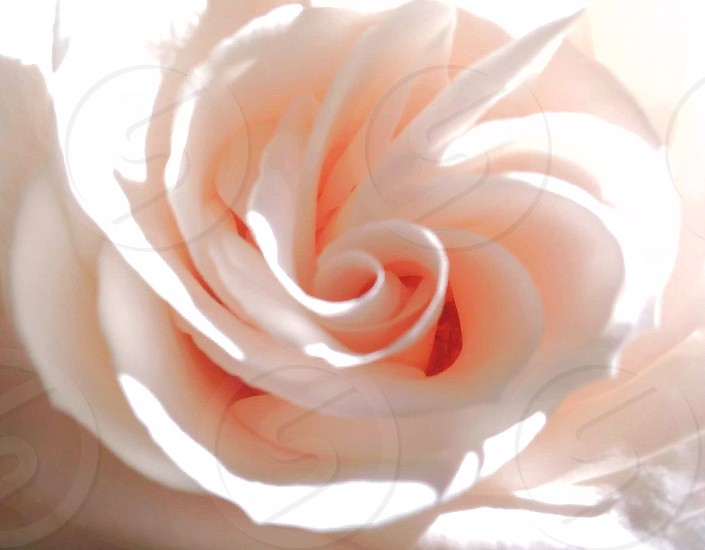 white rose in macro lens photography photo