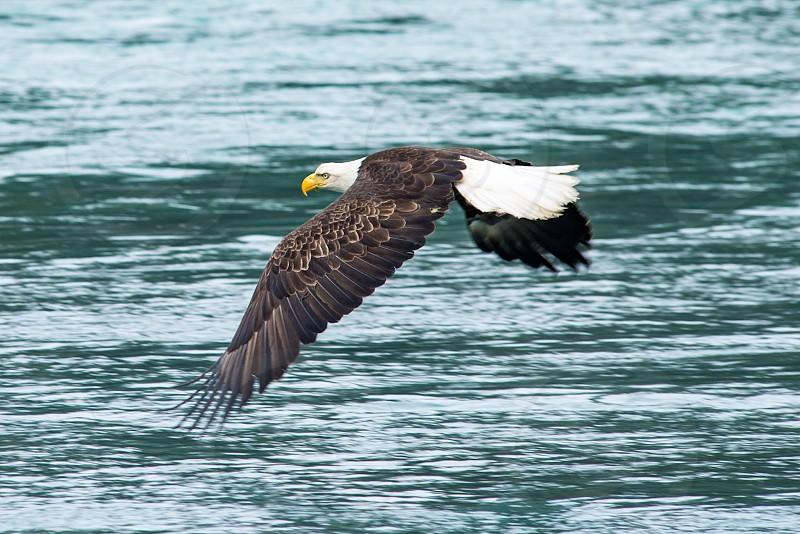 Eagle Kenai Peninsula photo