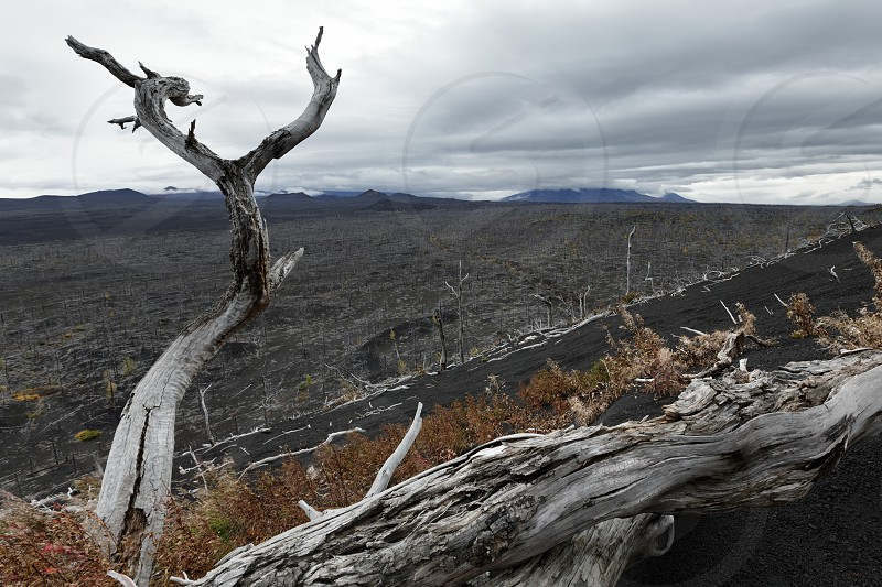 "Volcano landscape on Kamchatka Peninsula: Dead Forest (Dead Wood) - consequence of natural disaster - catastrophic eruptions Plosky ""Flat"" Tolbachik on Klyuchevskaya Group of Volcanoes. photo"