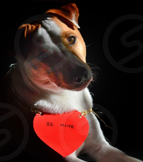 tan and white short coat dog wearing dog heart shape collar with BE MINE text photo