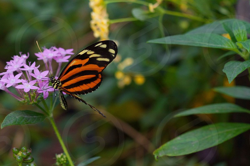 tiger longwing butterfly on pink flower photo