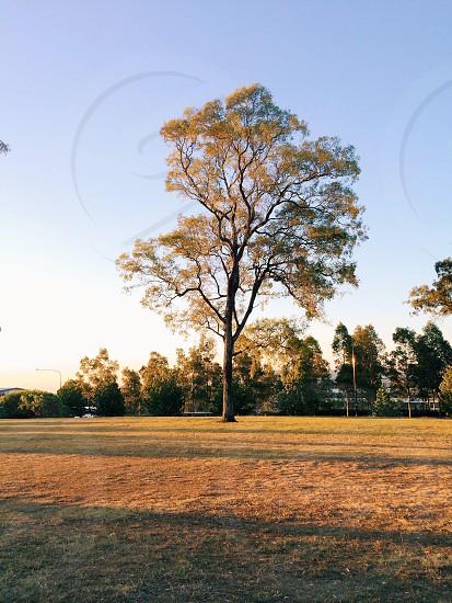 oak tree photo