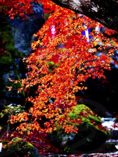 紅滝 Red waterfall  京都・嵐山祇王寺 Kyoto Arashiyama Gioji photo