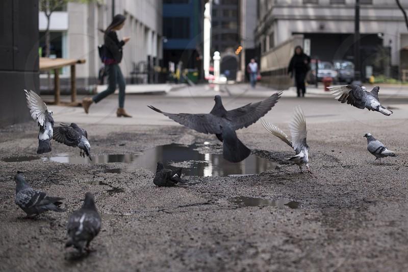 Pigeons x Chicago photo