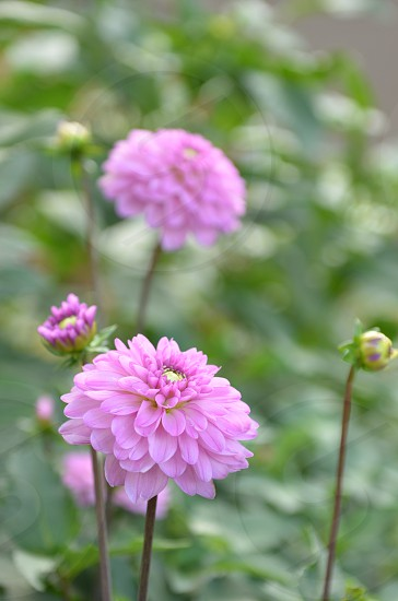 Pink dahlias flowers field spring summer nature organic photo