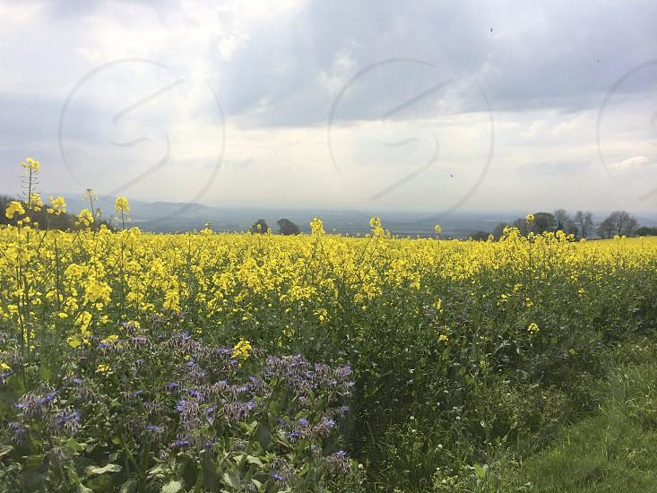 yellow daffodils field photo