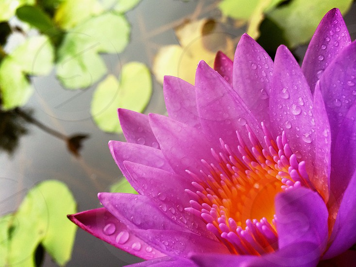 Lily flower floating on pond photo