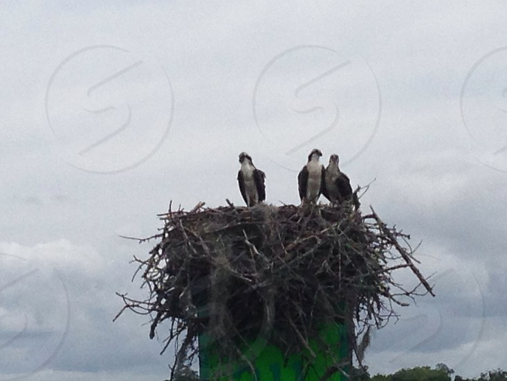 Osprey nest photo