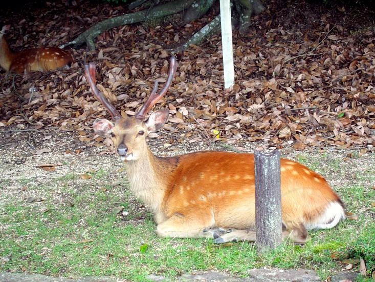 brown and black deer photo
