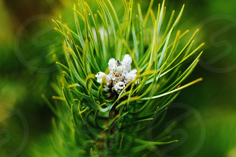 pine green nature spring summer close up forest photo