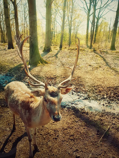 Beautiful wild forest scene as the morning spring sun shine through the trees and a fairytale deer stag walks carefully. photo
