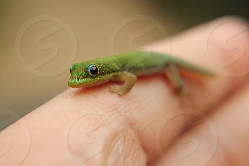 Small Gecko photo