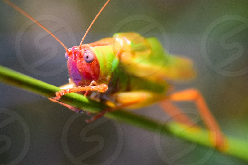 Colorful grasshopper staring with very expressive face.   photo