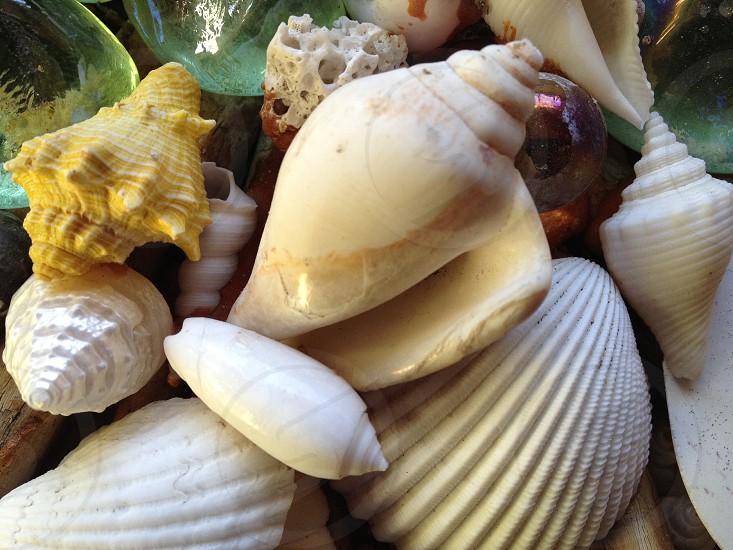 white horn shell photo