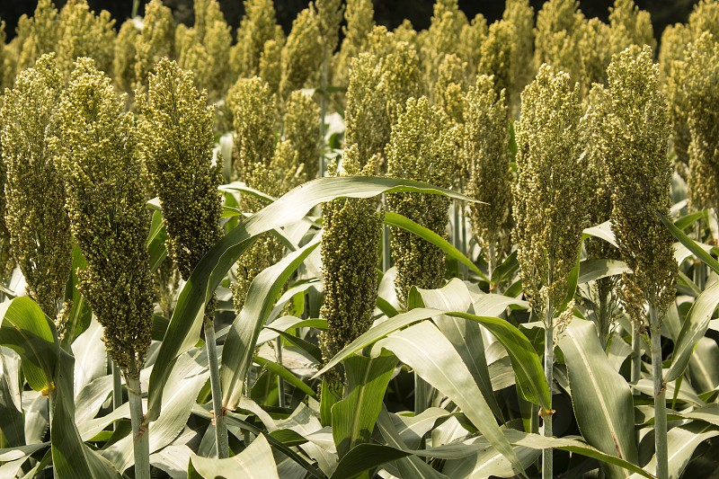 Close-up view of a field of grain sorghum. photo